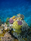 Colorful coral reef are on the Red Sea Stock Image