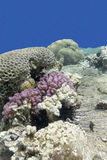 Colorful coral reef with sea urchin in tropical sea, underwater Royalty Free Stock Image