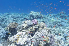 Colorful coral reef with shoal of fishes anthias in tropical sea Stock Photo