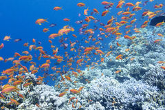 Colorful coral reef with shoal of fishes anthias in tropical sea. Colorful coral reef with shoal of fishes scalefin anthias in tropical sea, underwater royalty free stock images