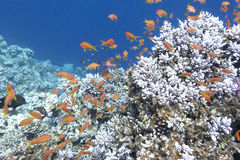 Colorful coral reef with shoal of fishes anthias in tropical sea Stock Image
