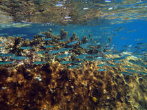 Colorful coral reef with shoal of fishes scalefin anthias in tro Stock Photos