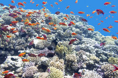 Colorful coral reef with shoal of fishes scalefin anthias in tropical sea Royalty Free Stock Photos