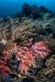 Vibrant and Healthy Coral Reef in the Philippines. A colorful coral reef thrives on Cabilao Island, the Philippines. The Philippine Islands are part of the Coral Royalty Free Stock Photography
