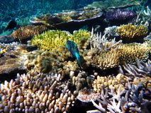 Colorful coral reef with a tropical blue fish swimming in the Great Barrier Reef royalty free stock photography