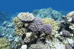 Colorful coral reef in tropical sea, underwater Royalty Free Stock Images