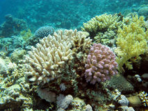 Colorful coral reef in  tropical sea, underwater Royalty Free Stock Photography