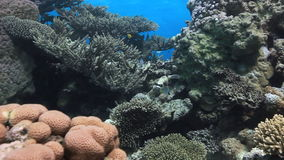 Colorful coral on sandy bottom deep underwater in Red sea. stock video
