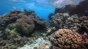 Colorful coral on sandy bottom deep underwater in Red sea. World of colorful beautiful wildlife of reefs and algae. Inhabitants in search of food. Abyssal stock video
