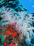 Colorful corals. Soft tree coral (Dendronephthya sp Royalty Free Stock Photo