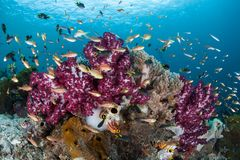 Colorful Corals and Fish in Coral Triangle Royalty Free Stock Image