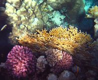 Colorful corals in the Red Sea Royalty Free Stock Photography