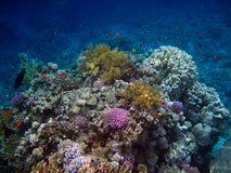 Colorful corals in the Red Sea Stock Image