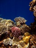 Colorful corals in the Red Sea Royalty Free Stock Images