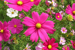 Colorful Coreopsis Royalty Free Stock Photos