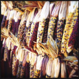 Colorful corn Stock Images