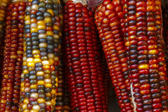 Colorful corn cobs Royalty Free Stock Photo