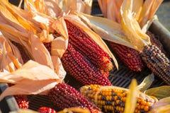 Colorful corn Stock Image