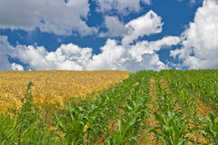 Colorful corn and wheat fields in spring Royalty Free Stock Photo