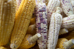 Colorful corn. White corn is available in Thailand Stock Images