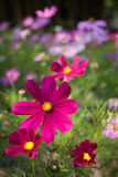 Colorful cosmos. The colorful cosmea in a private garden Royalty Free Stock Images