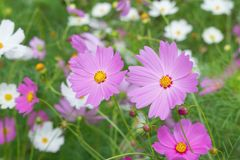 Colorful Cosmos flower with blur garden background Stock Photos