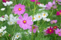 Colorful Cosmos flower with blur garden background Royalty Free Stock Photography