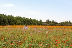 Colorful cosmos flower field Stock Photo