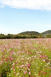 Colorful cosmos flower field Royalty Free Stock Image