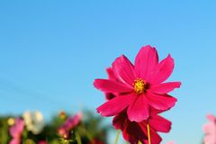 Colorful of cosmos flower in the garden Stock Image