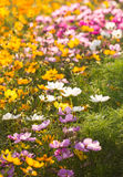 Colorful cosmos flower in garden Royalty Free Stock Photos