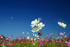 Colorful cosmos flowers field royalty free stock images