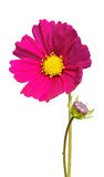 Colorful Cosmos Flowers Royalty Free Stock Photography