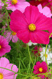 Colorful of  cosmos flowers Stock Image