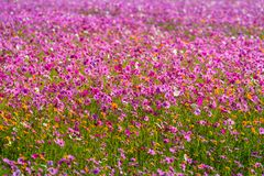 Cosmos flowers are blooming in winter. Colorful cosmos flowers planted in a large fields on the hill. cosmos flowers are blooming in winter stock image