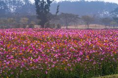 Cosmos flowers are blooming in winter. Colorful cosmos flowers planted in a large fields on the hill. cosmos flowers are blooming in winter stock photo