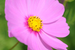 Colorful Cosmos Flowers Royalty Free Stock Image