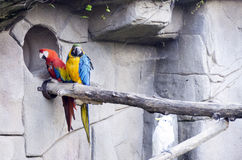 Colorful couple macaws parrots Stock Photo