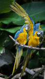 Colorful couple macaws Royalty Free Stock Photo