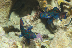 A colorful couple of mandarin fish in love Stock Images