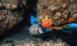 Colorful Cozumel Reef. A Grey Angelfish is perfectly poised on this colorful crevice alongside of one of Cozumel,Mexico's beautiful underwater walls stock images