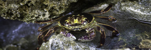 Colorful Crab Royalty Free Stock Image