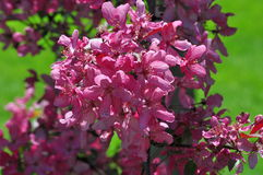 Colorful Crab Apple Blossoms. Pink blossoms on a flowering crab apple tree Stock Image