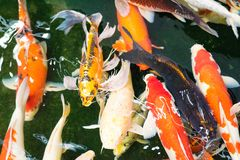 Colorful crap fish swimming together in the fish pond. Colorful many crap fish swimming together in the fish pond Royalty Free Stock Photo