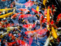 Colorful of the crayfish. Stock Photography