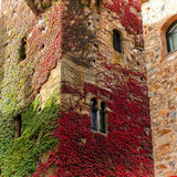 Colorful creeper in a facade. Colorful creeper detail in a tower facade of old district at Caceres (Spain stock image