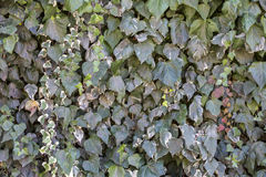 Colorful creeper leaves in Canakkale, Turkey.  Royalty Free Stock Photography