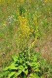 Black mullein (Verbascum nigrum) Royalty Free Stock Photo
