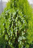 Blooming Thuja at garden. Colorful and crisp image of blooming Thuja at garden Royalty Free Stock Photo