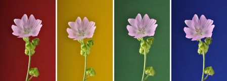 Collage Musk mallow on variegated background. Colorful and crisp image of collage Musk mallow on variegated background Royalty Free Stock Photos